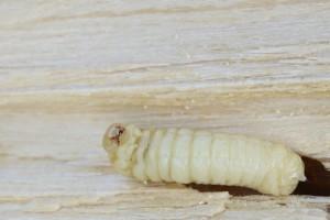 Houtworm