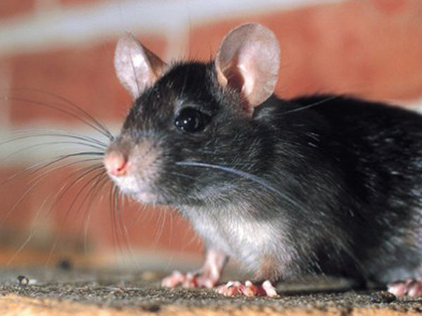 muis in spouwmuur